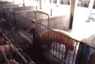 公猪专用栏
